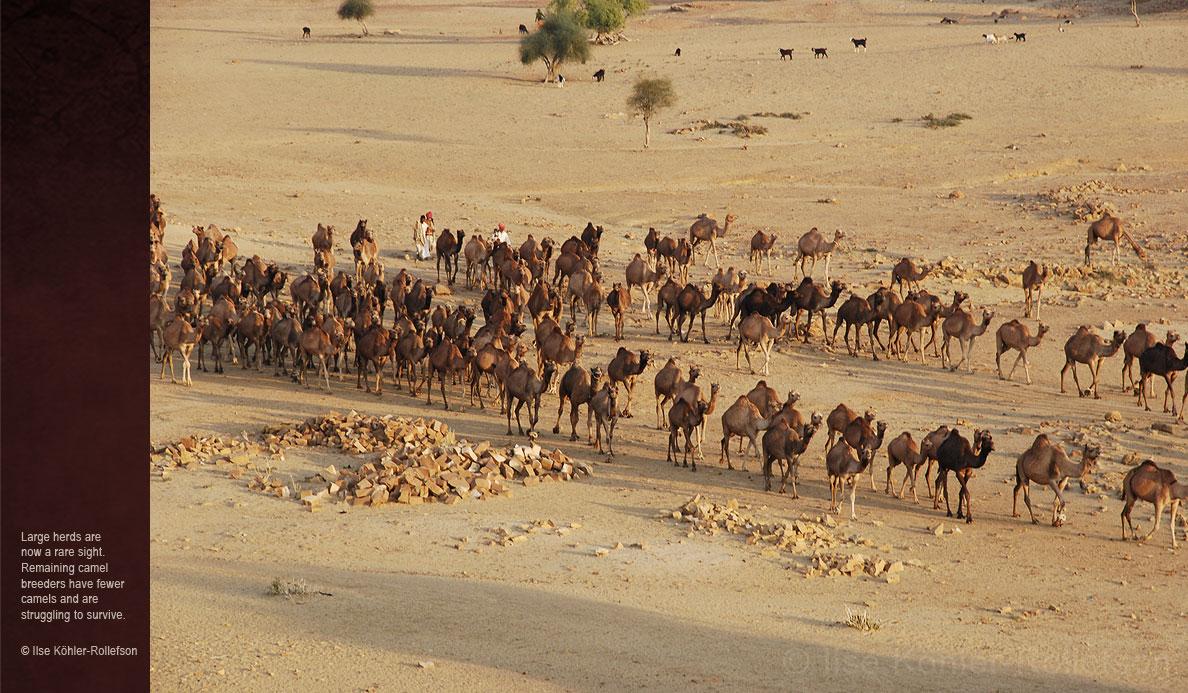 Camels-of-Rajasthan-camel-herd-ilse-kohler-rollefson.jpg