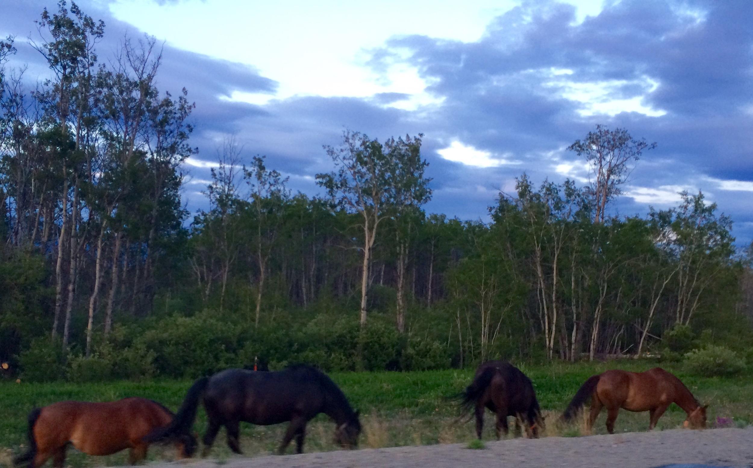 Yukon ponies