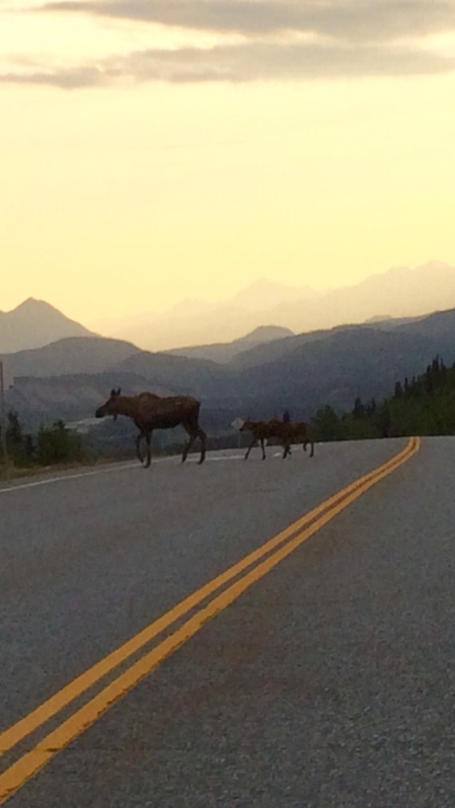 Momma moose and twin calves
