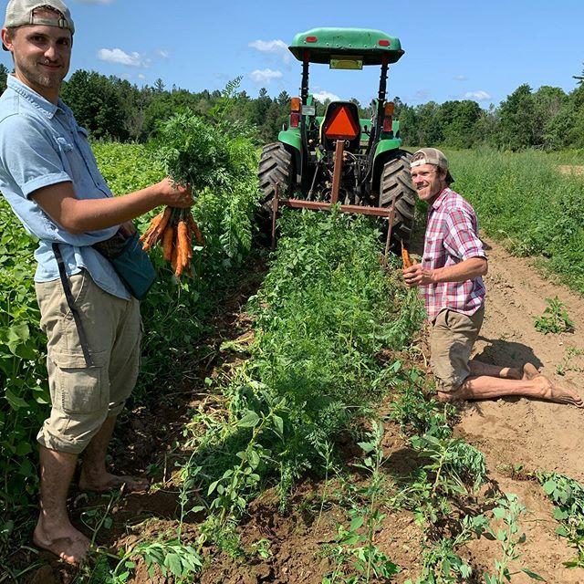 Carrot harvesting for the @littleton_coop 🥕