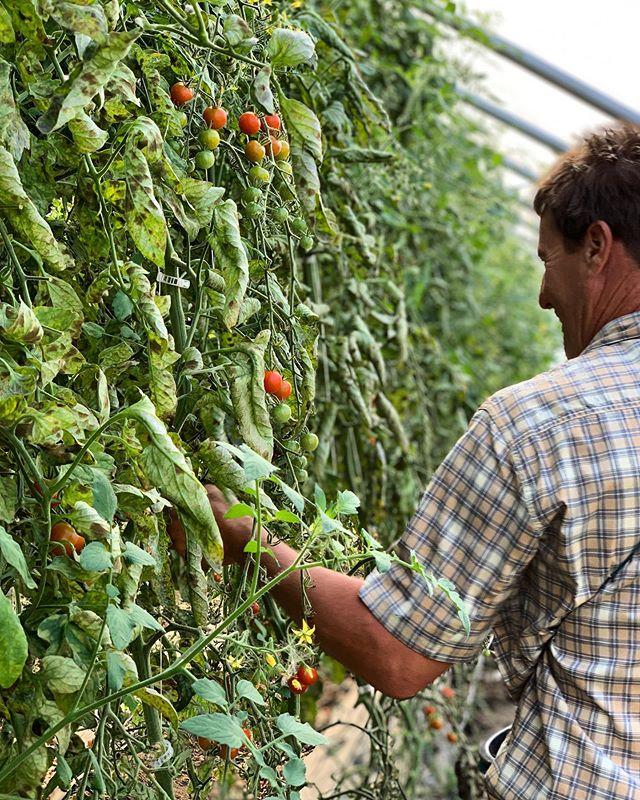 Matt picking cherry tomatoes for @thebealhouse