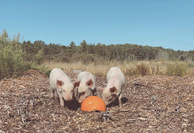 3 little piggies 🐷
