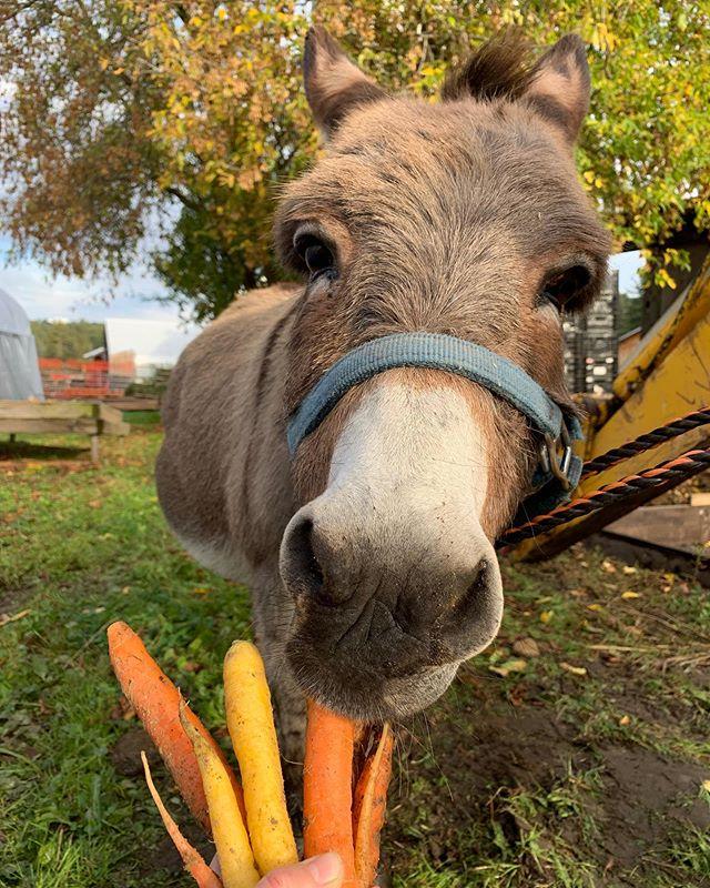 Donkey walks 🥕