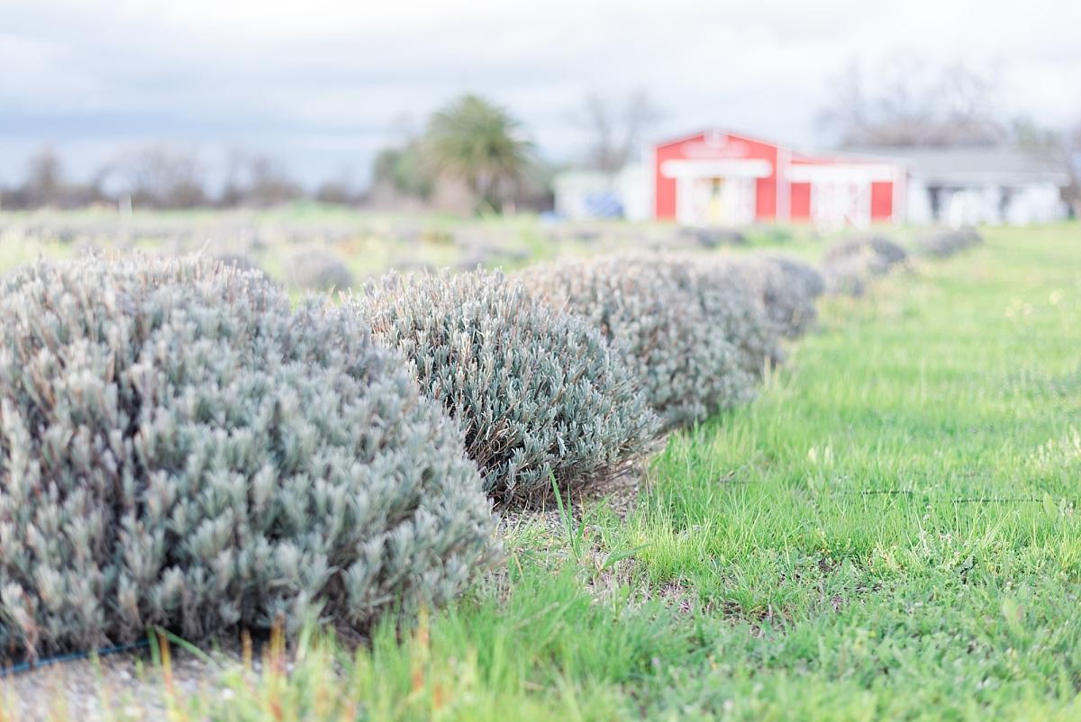 moonbeam farm lavender fields organic loofah corning california_0278.jpg