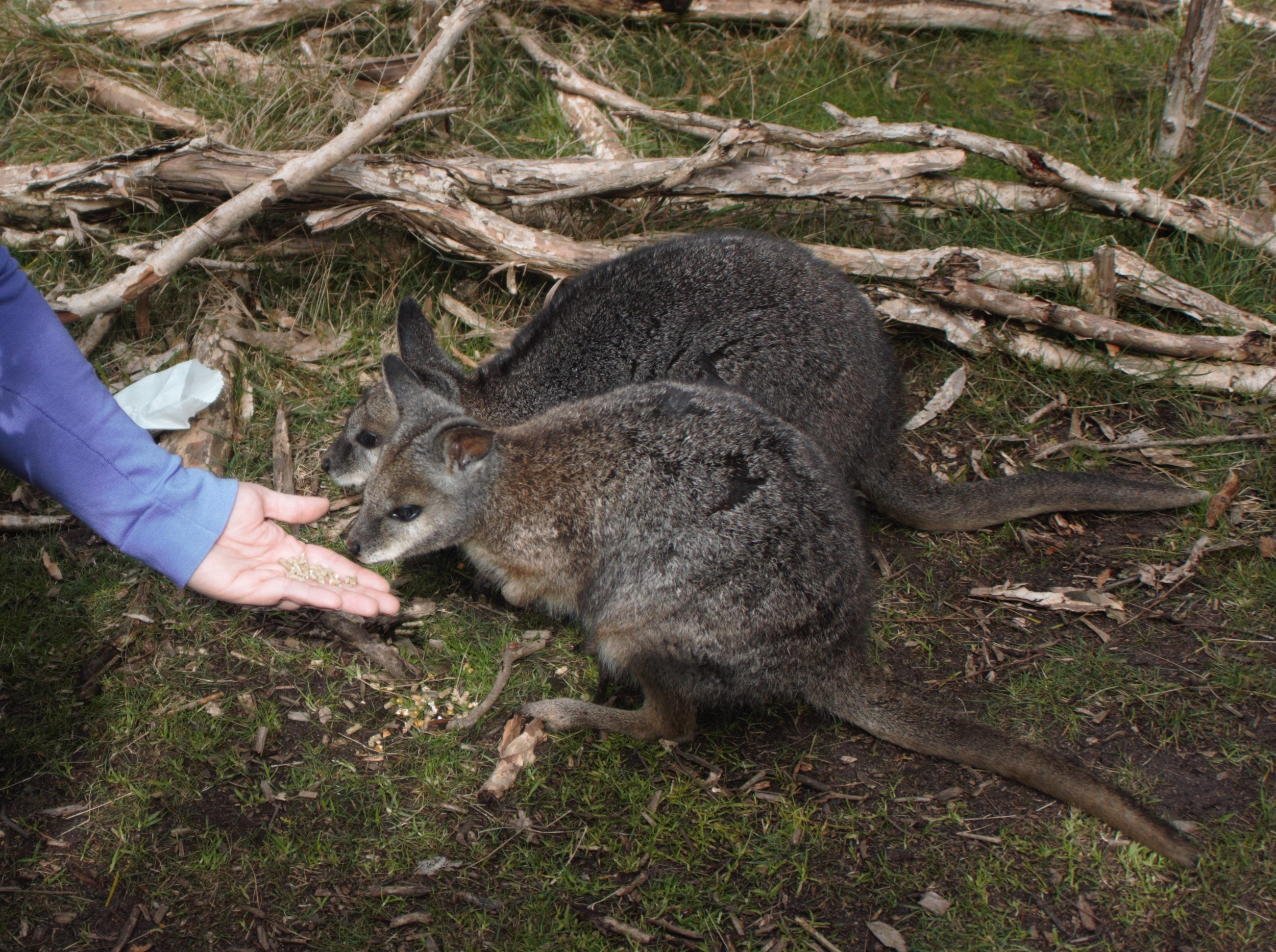 Feeding Wallaby.jpg