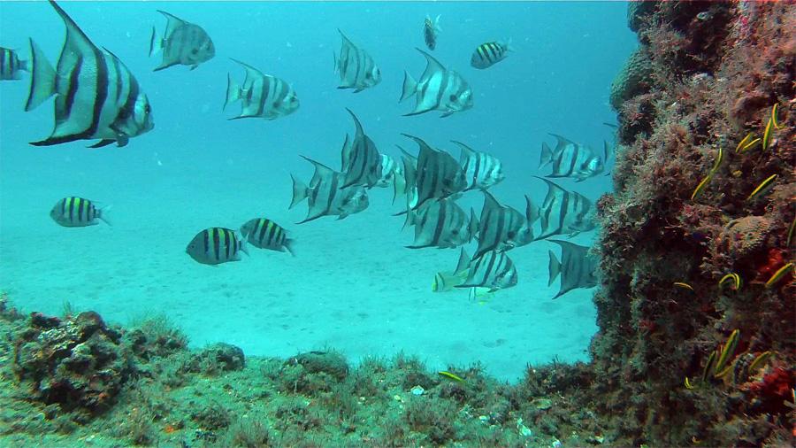 Atlantic Spadefish and Sunken Tug - Boca Raton, FL