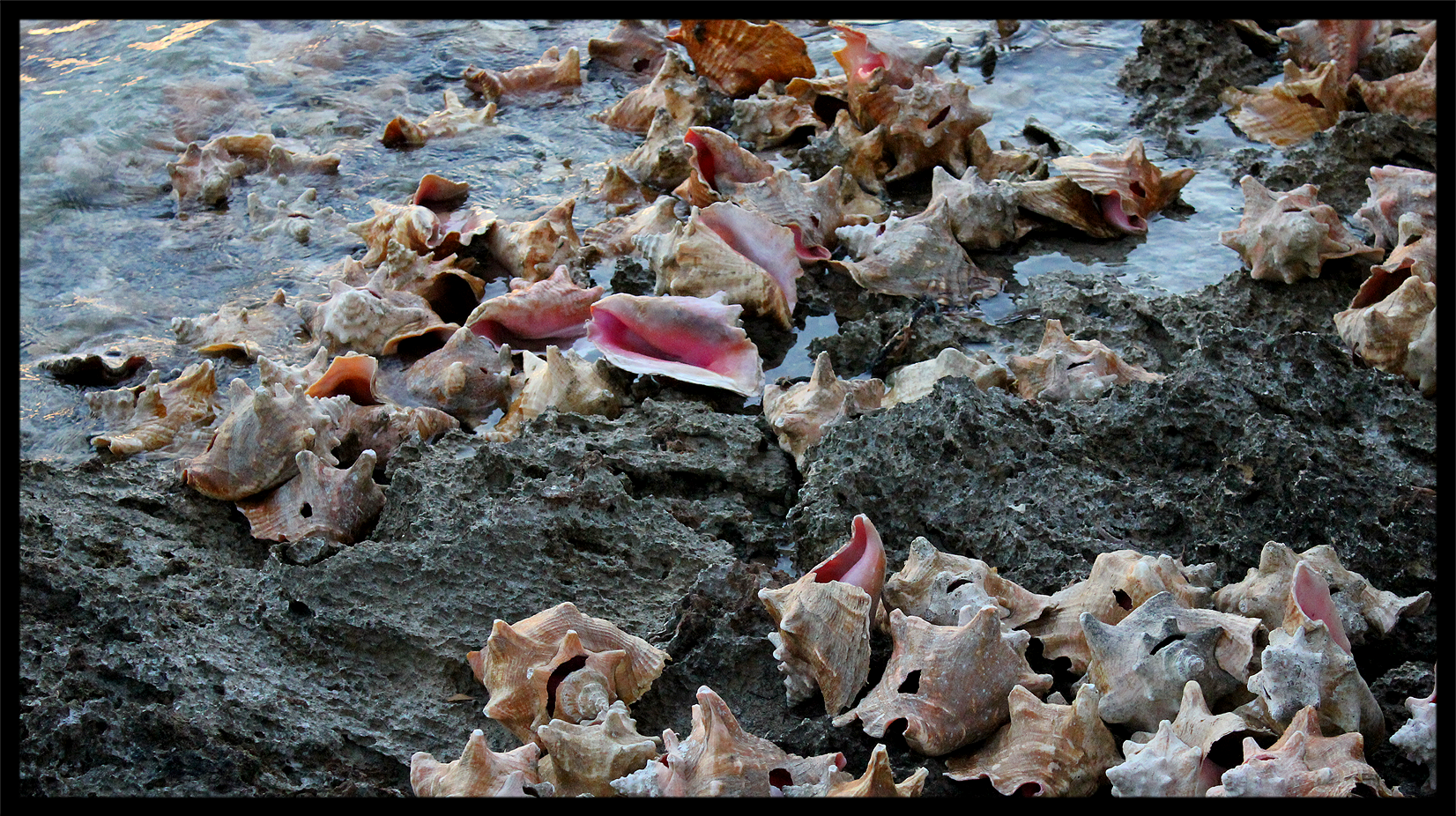 CONCH SHELLS AT LOW TIDE