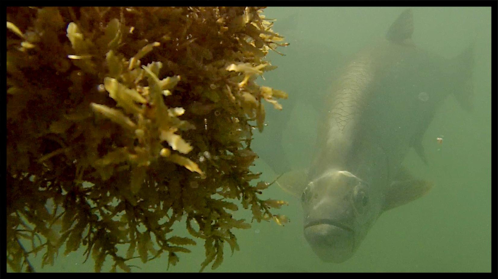 Tarpon and sargassum.