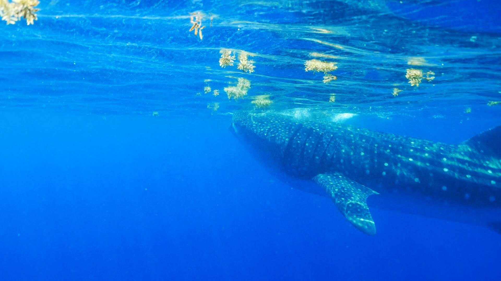 Whale Shark - Isla de Mujeres, Mexico
