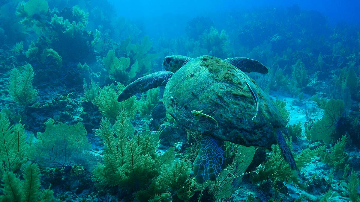 Green Sea Turtle -  South Water Caye Marine Reserve,Belize