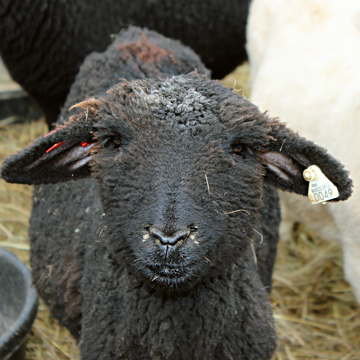 Bah Bah Black Sheep, have you any wool? Why yes! And it's gorgeous.