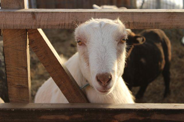 Annie Goat.