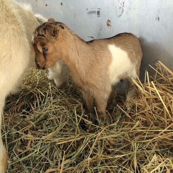 Little baby goat!