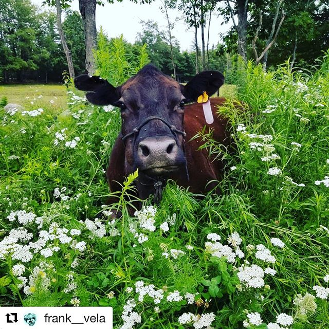 Miss Josie Cow and blueberries. #mainefarms #mainefarmers #maineblueberries
