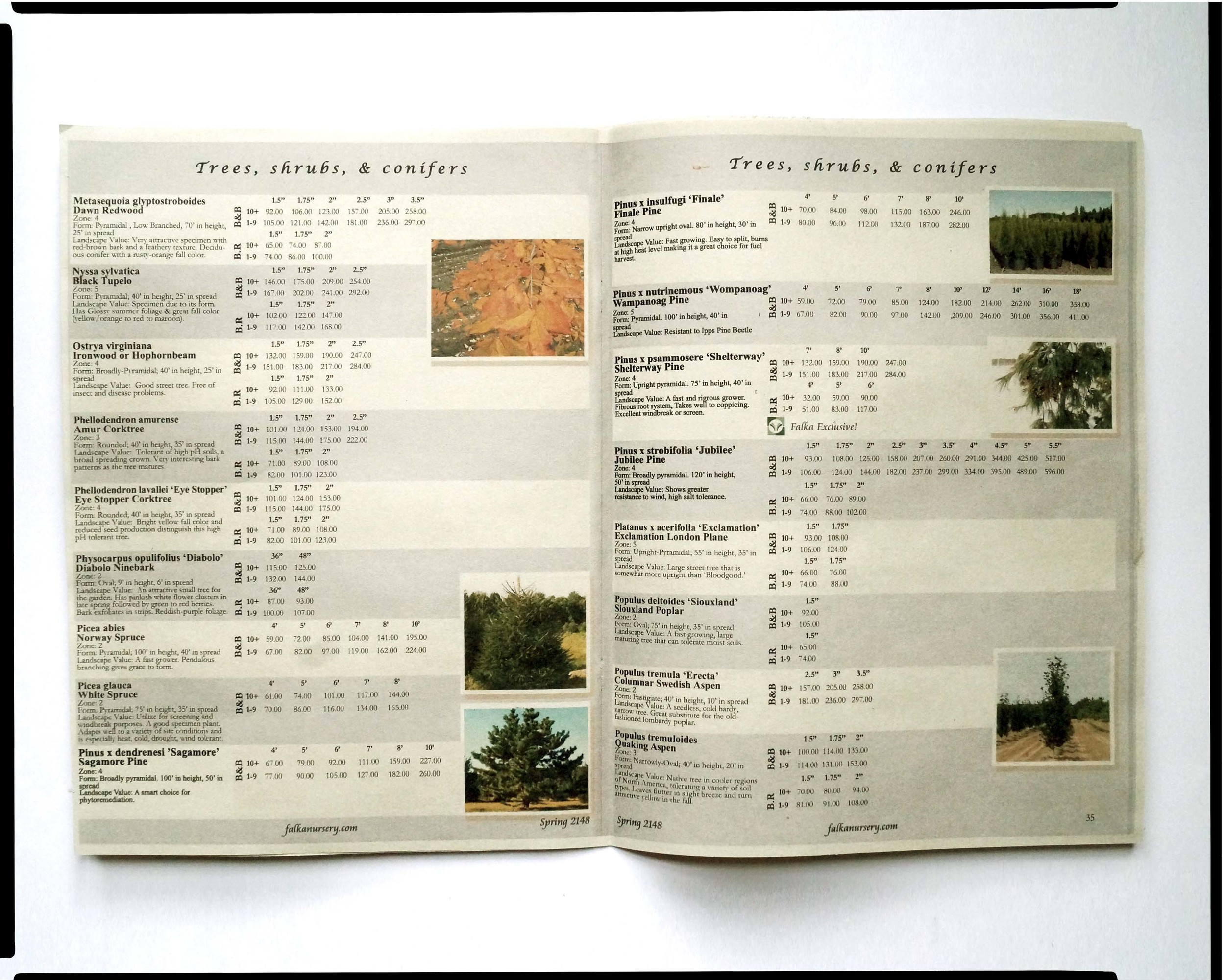 """"""" Falka Selections, Fall 2109. """" Sales catalogue featuring the Sand Authority's hybrid cultivars, Pinus x nutrinemous """"Wampanoag"""", Pinus x psammosere """"Shelterway"""", and Pinus x strobifolia """"Jubilee""""; Falka Nursery Canada, 2109."""