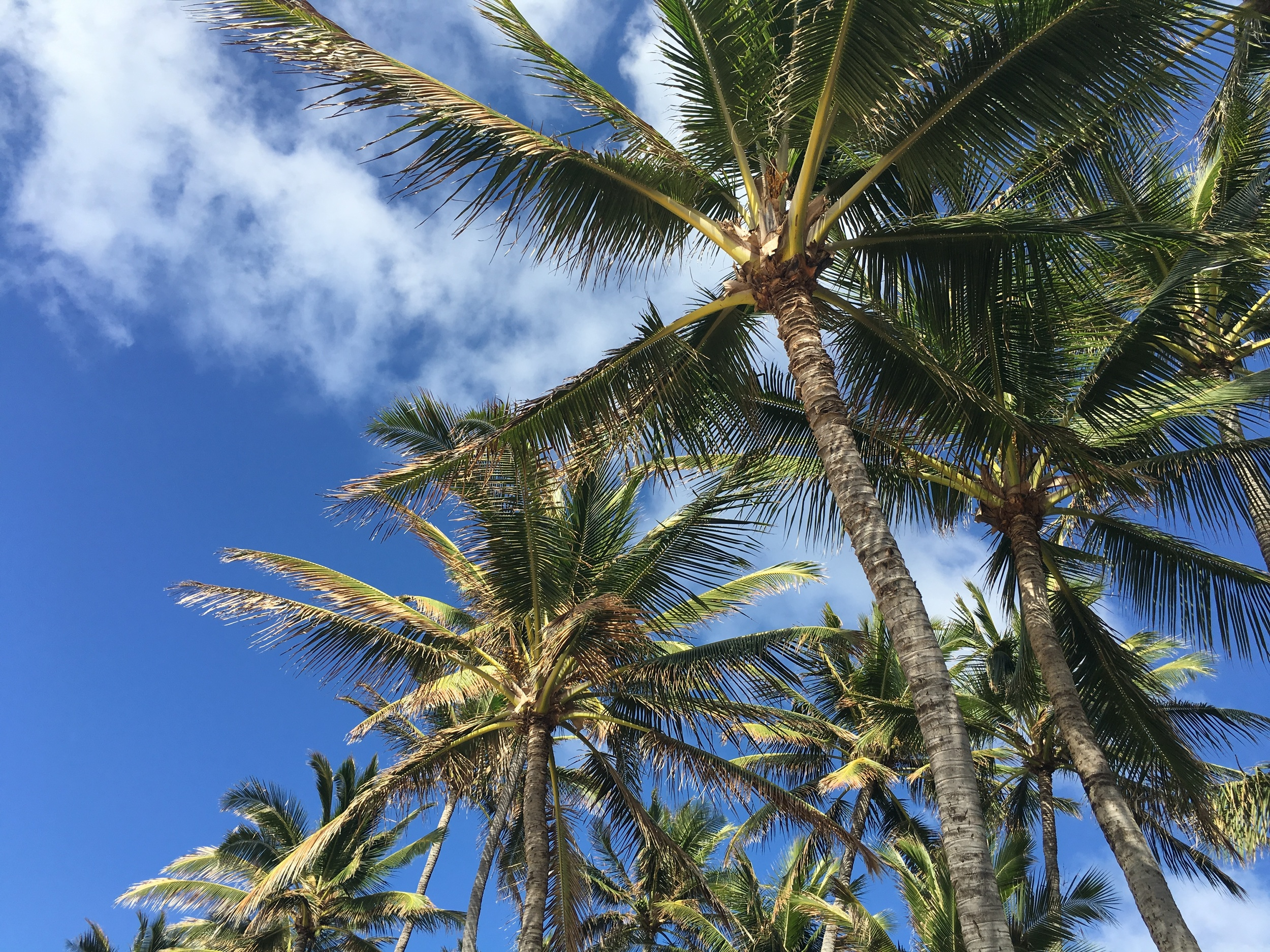 Hawaii-Coconut-Trees