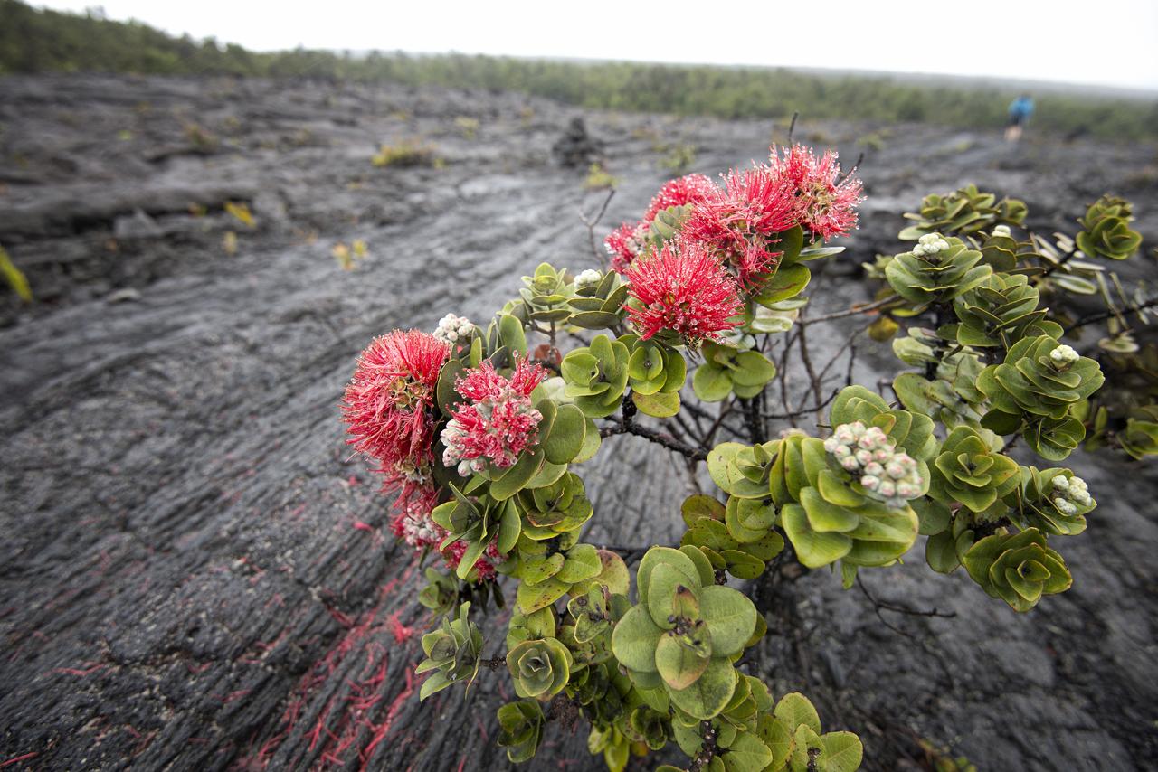 ʻ ōhi ʻ a lehua   [ (  Metrosideros polymorpha)- a tree native to Hawaiian Islands, producing incredibly beautiful red flowers