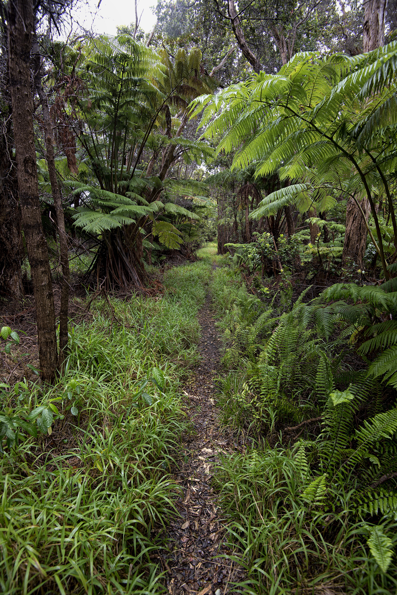 Native rainforest at Napau Trail