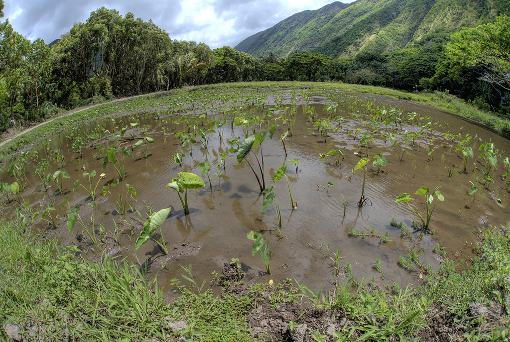 Taro fields in Waipi'o Valley