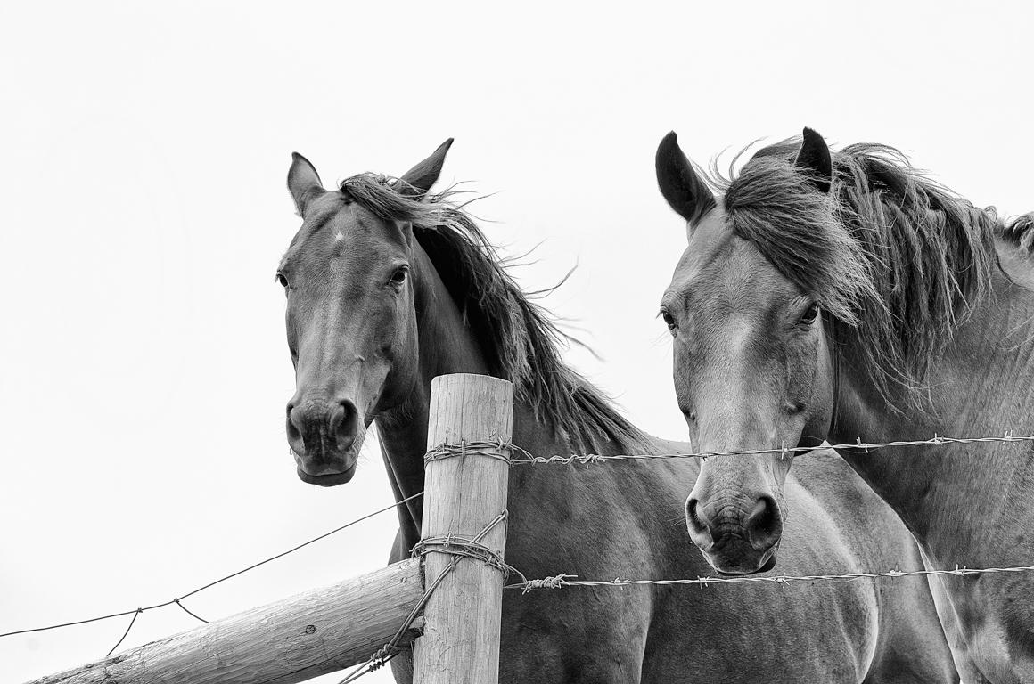 HORSES BW.jpg