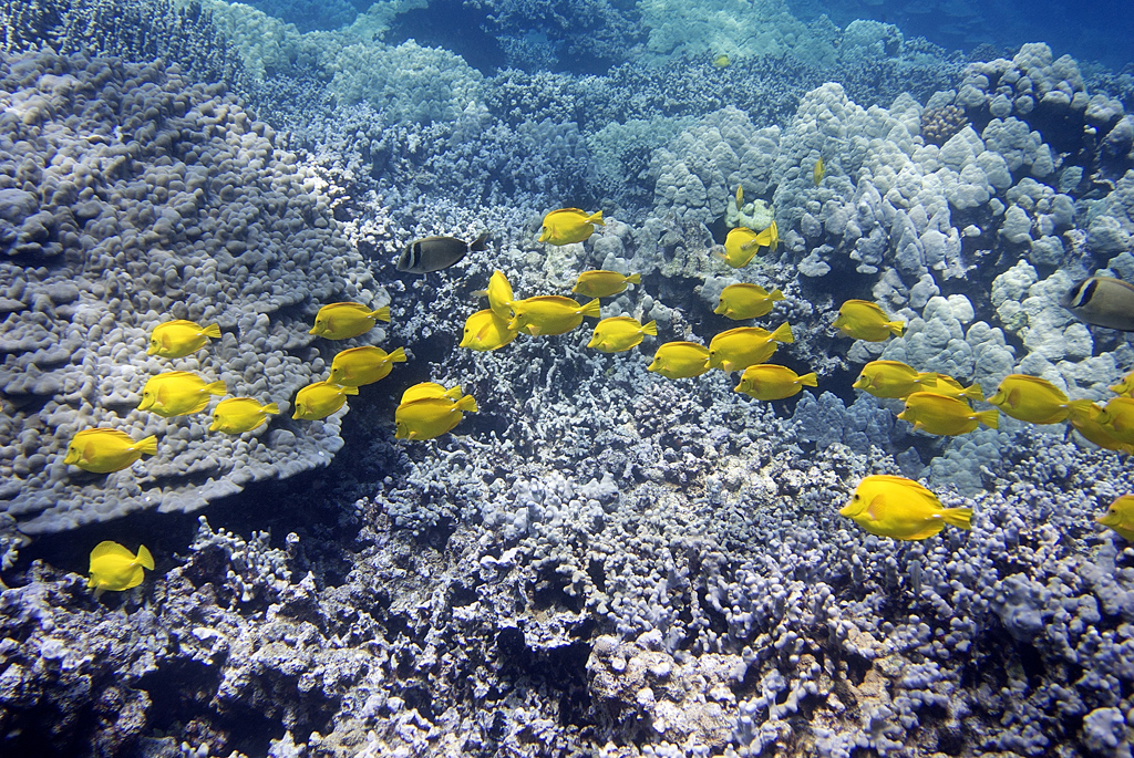 Yellow tangs ( Zebrasoma flavescens) swim among corals