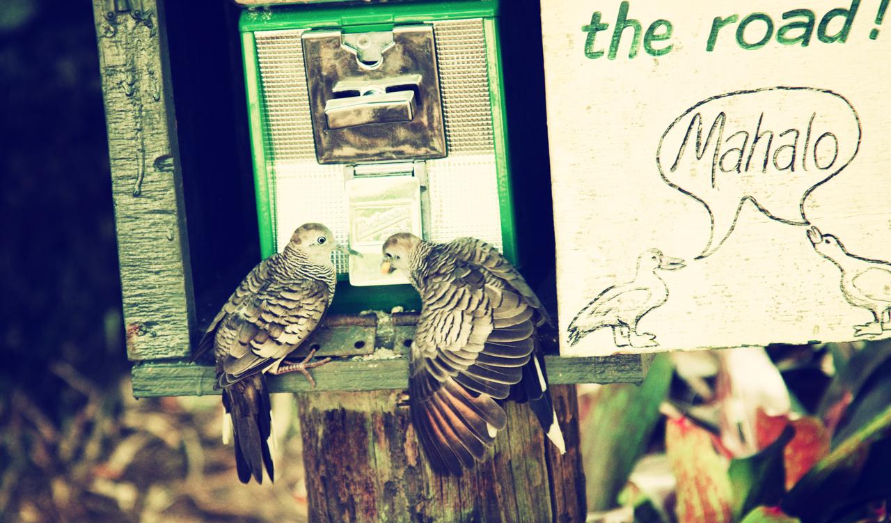 hana pigeons.jpg
