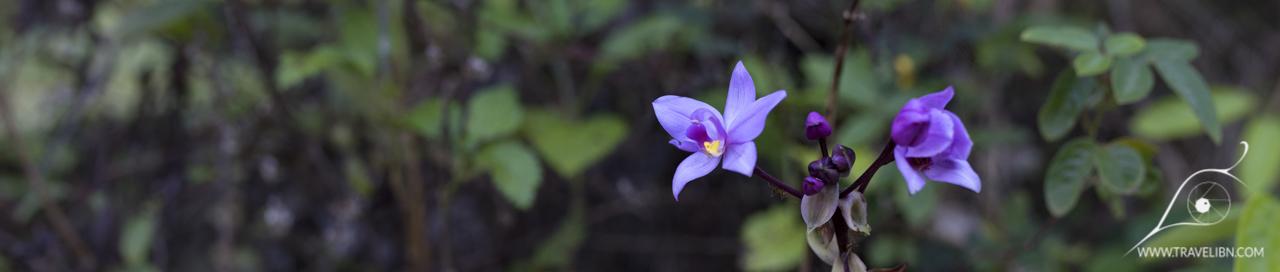 Philippine Ground Orchid- Spathoglottis plicata