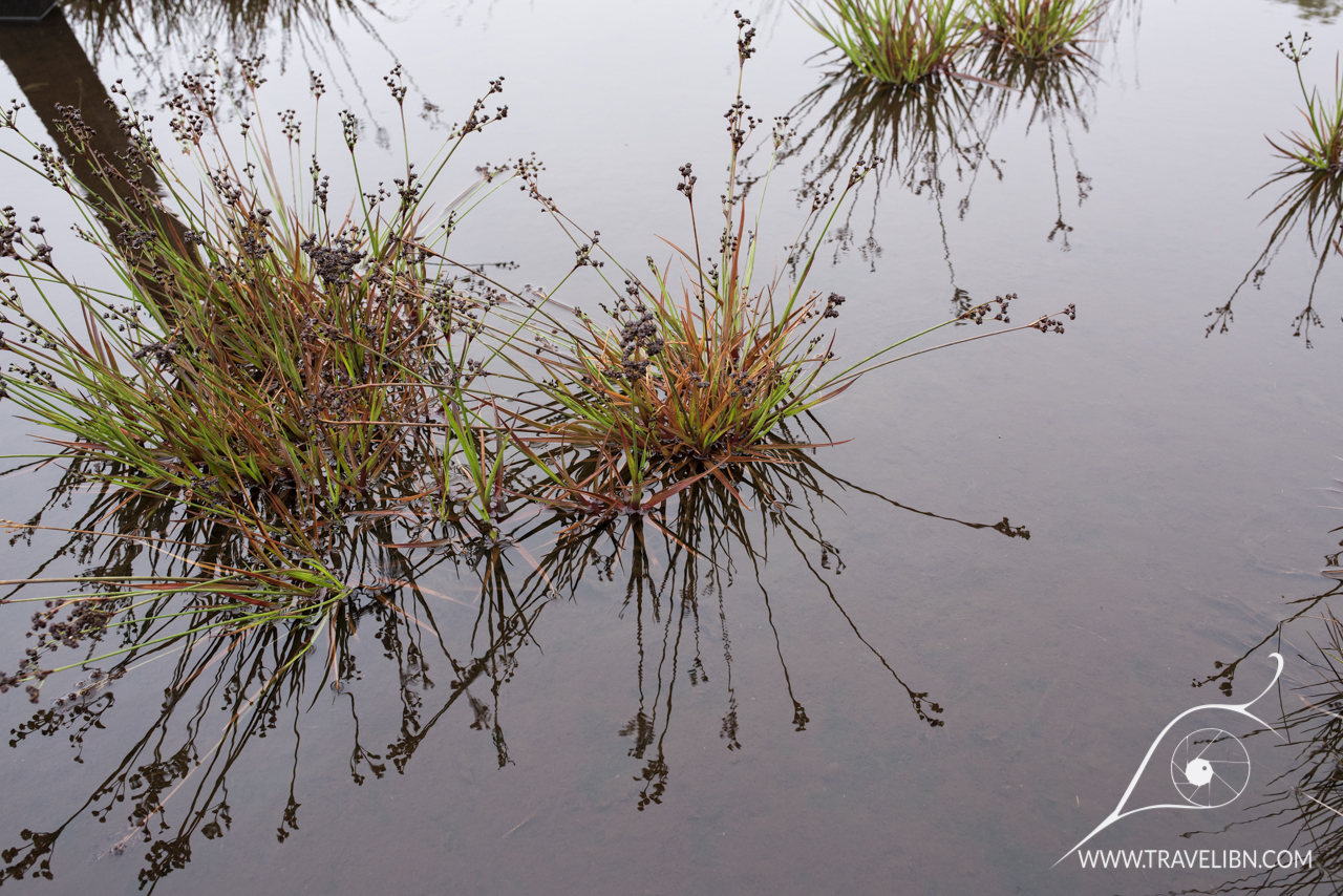 Drosera anglica Alakai swamp