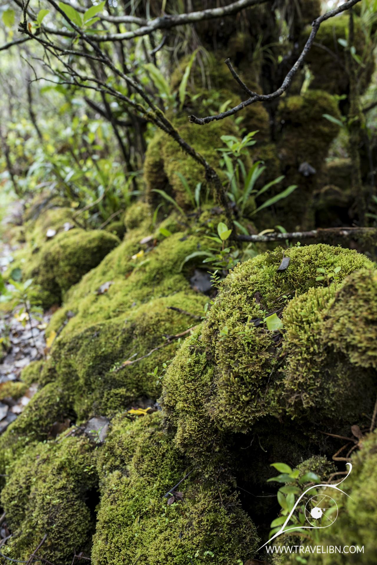 Mosses in Alakai Swamp
