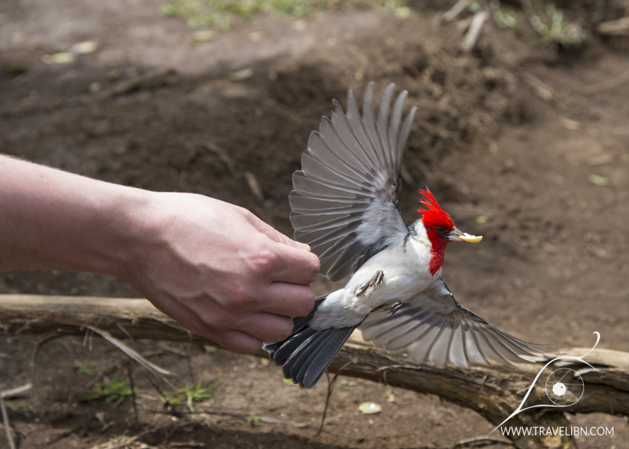 Red Crested Cardinal stealing a peanut