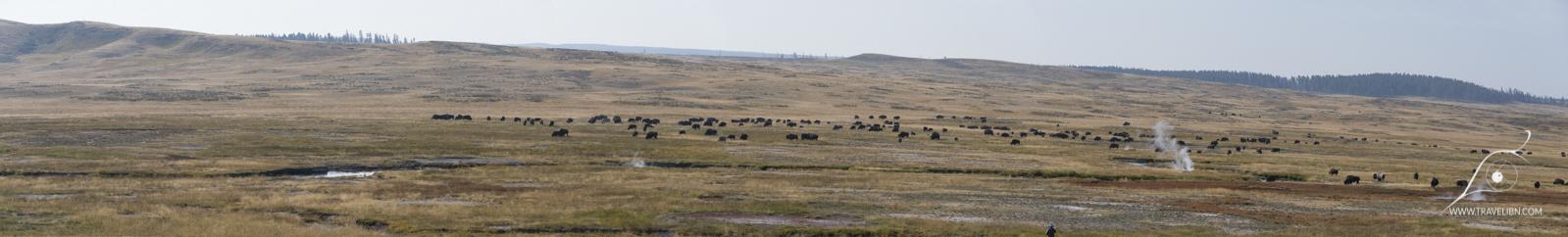 Bizon herd in Hayden Valley, Yellowstone National Park