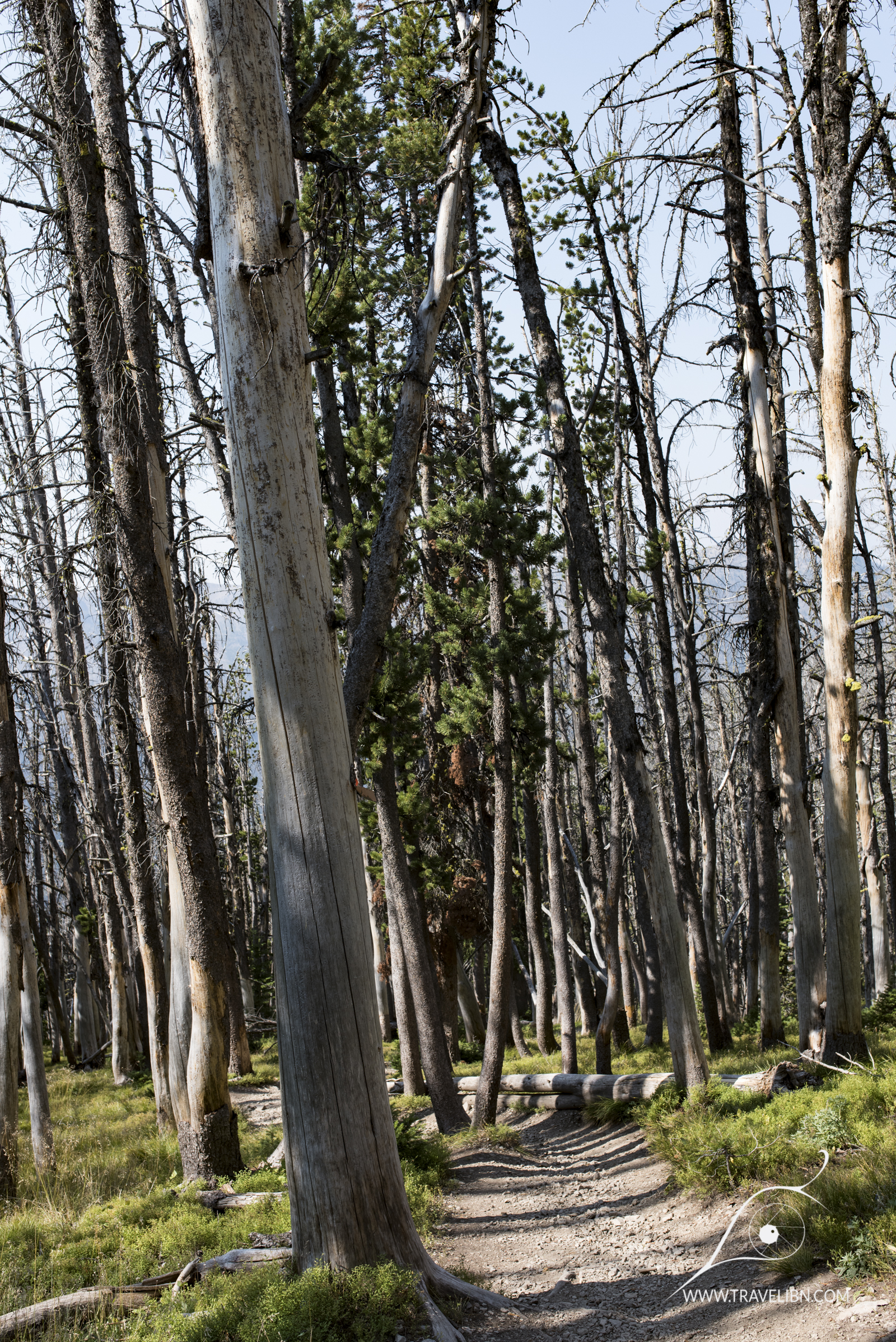 Whitebark Pine Trees