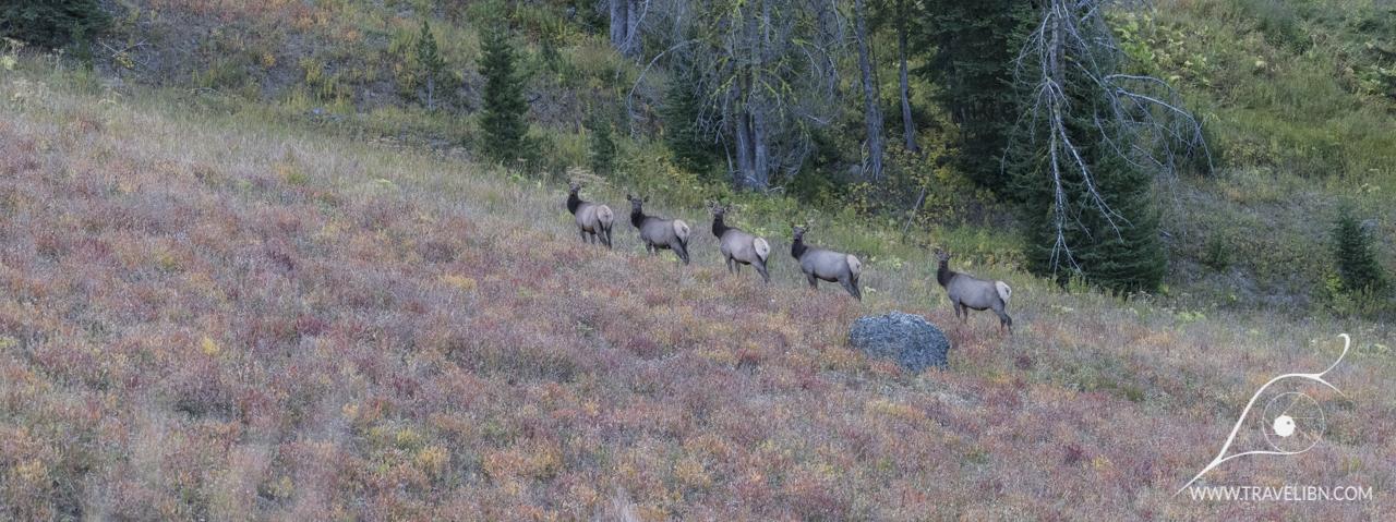 Elk, Mount Washburn Trail