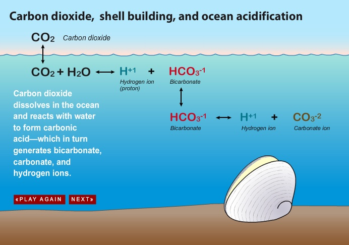 Carbon Dioxide, Shell Building & Ocean Acidification  - A pictorial slide show describing OA chemistry from Woods Hole Oceanographic Institute, Oceanus Magazine.