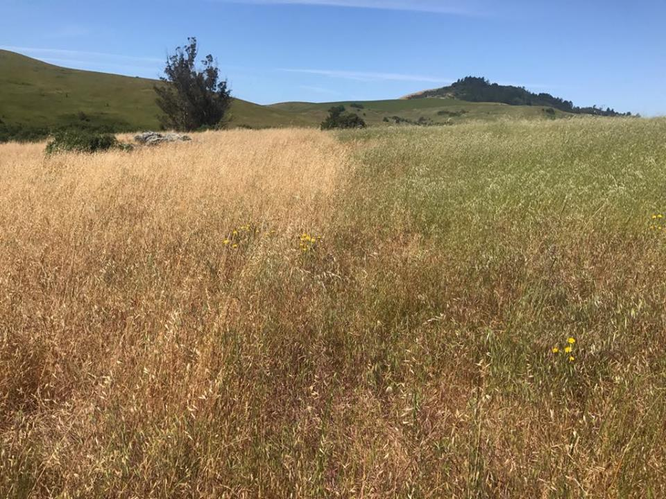 At left, no grazing from mid-October. At right, two quick grazes with 60 day recovery period during the growing season.