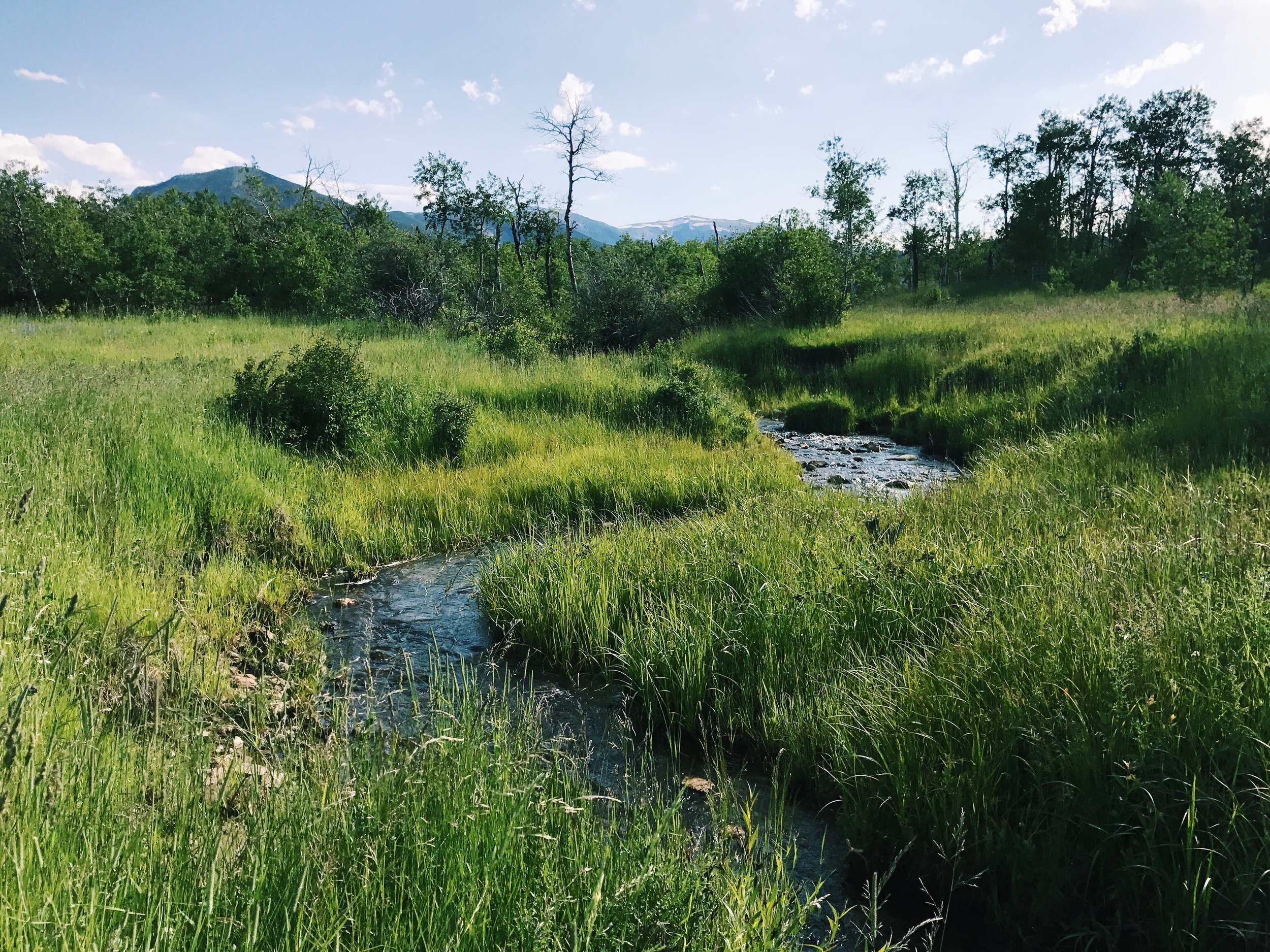 Morris Creek on the Lazy E-L Ranch in Montana, grazed one to two times annually with approx 1200 head of yearlings for a few days. Thanks to planned grazing and the engineering of beavers, this wetland serves as a heron rookery each year.