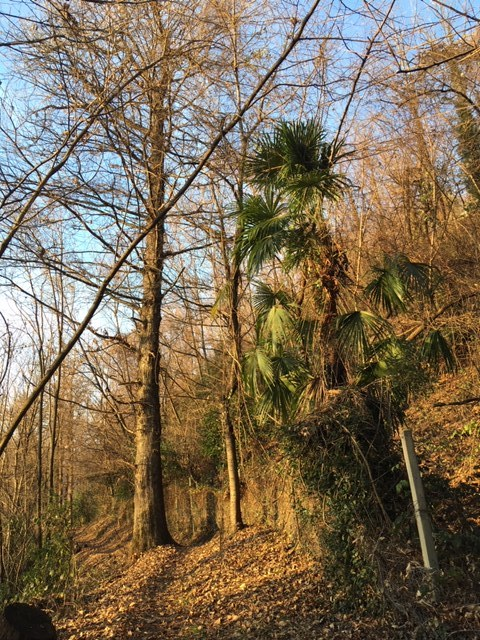 Observations from my walks: Palm trees in the wood  Southern Switzerland