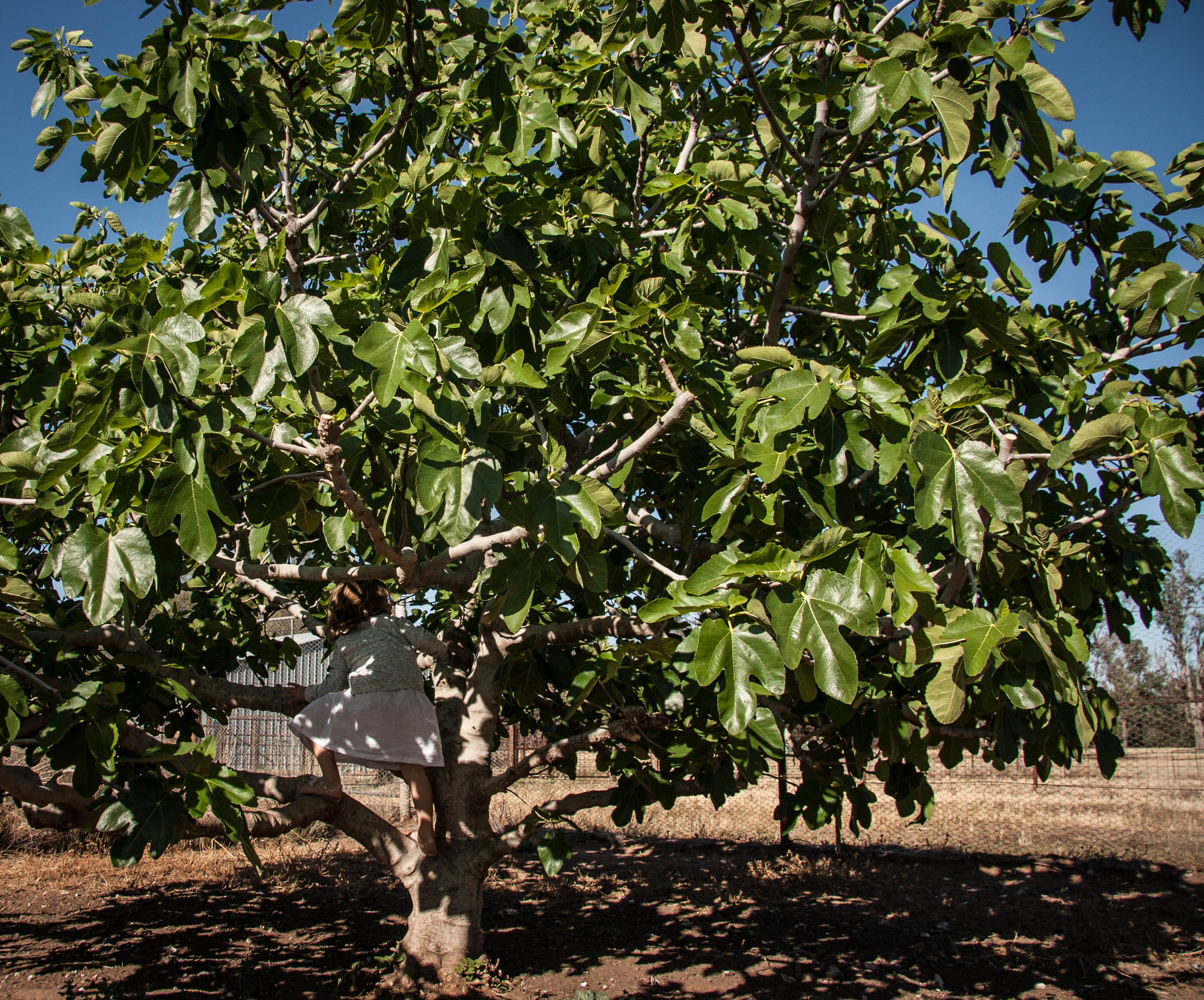 Dave's enormous fig tree in his chook yard