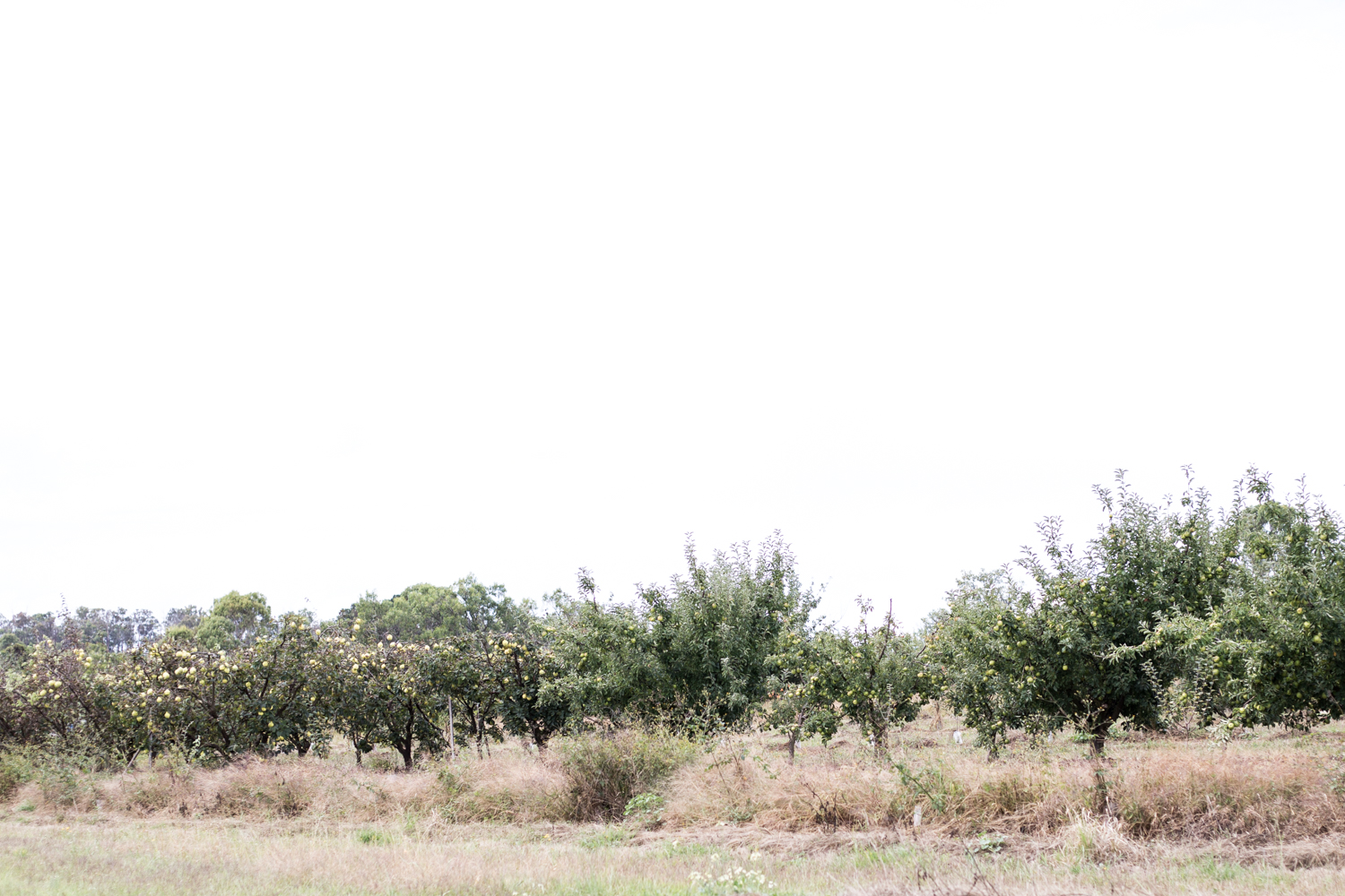 A quince orchard near Stanthorpe