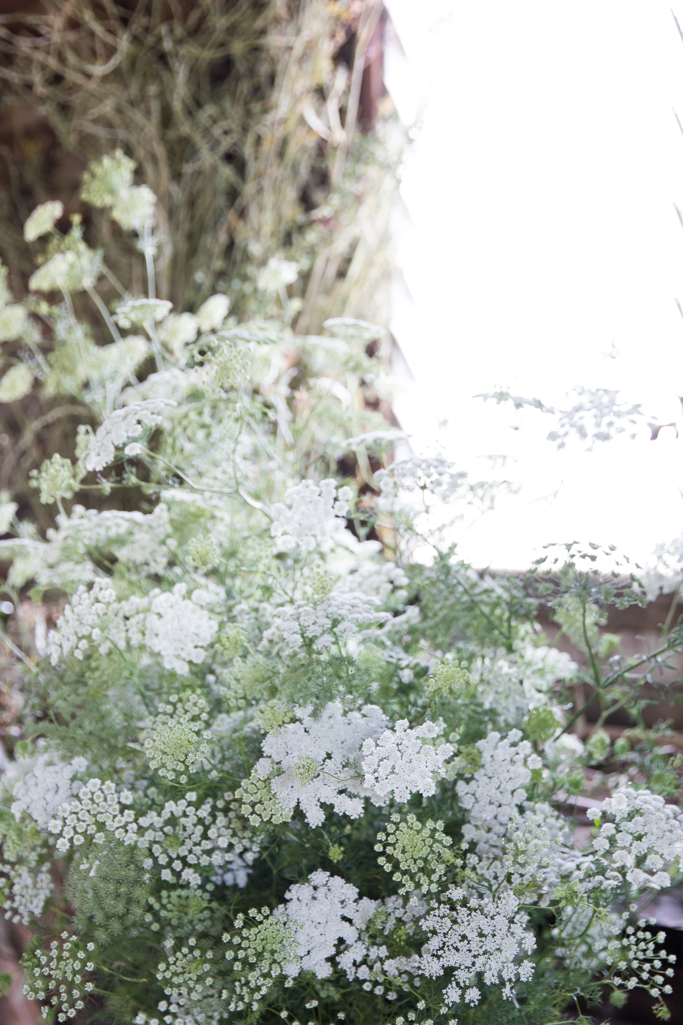 What I thought was Queen Anne's Lace turned out to be Hemlock - stinky and poisonous but beautiful nonetheless.
