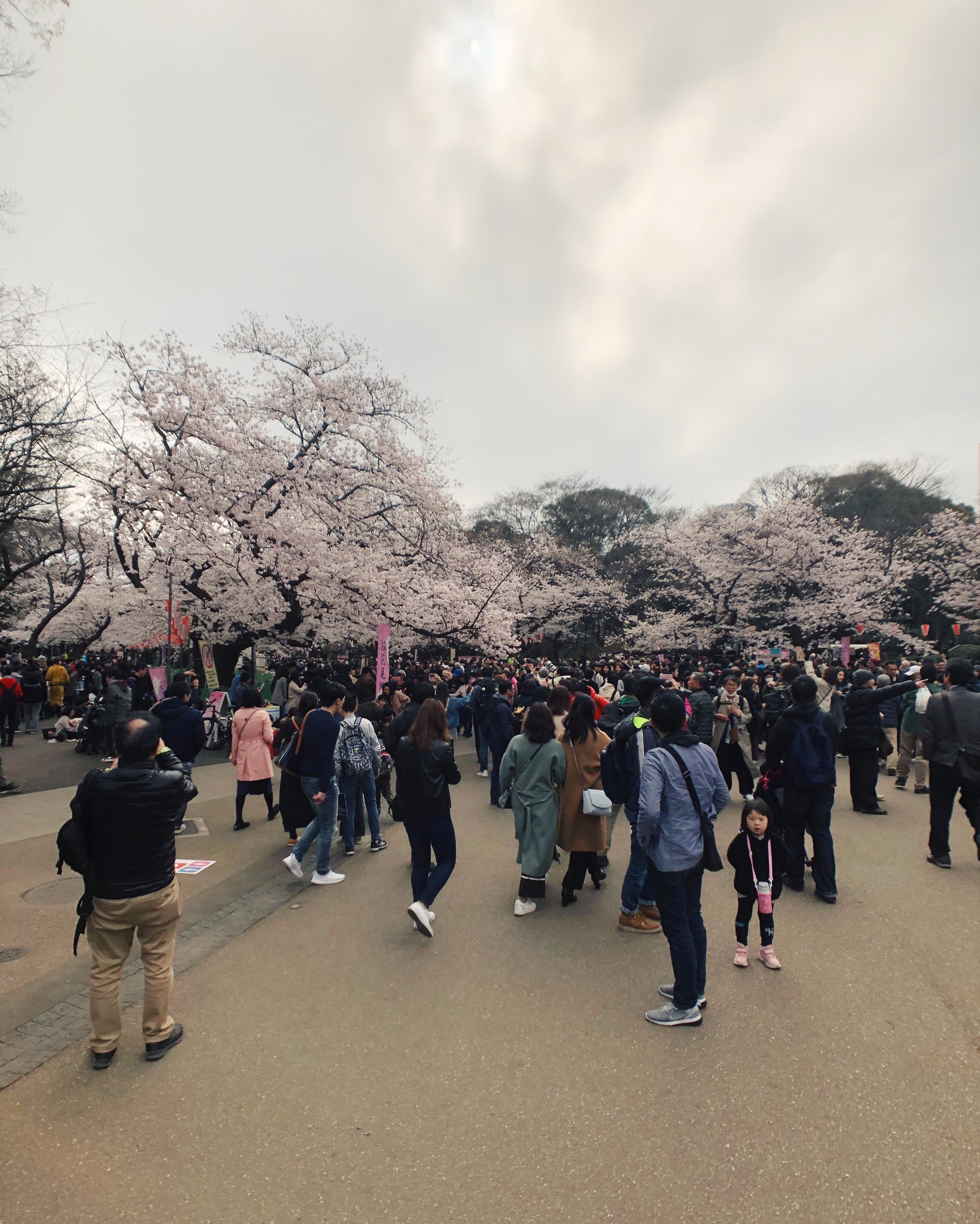 Hurry, get to the cherry blossoms!