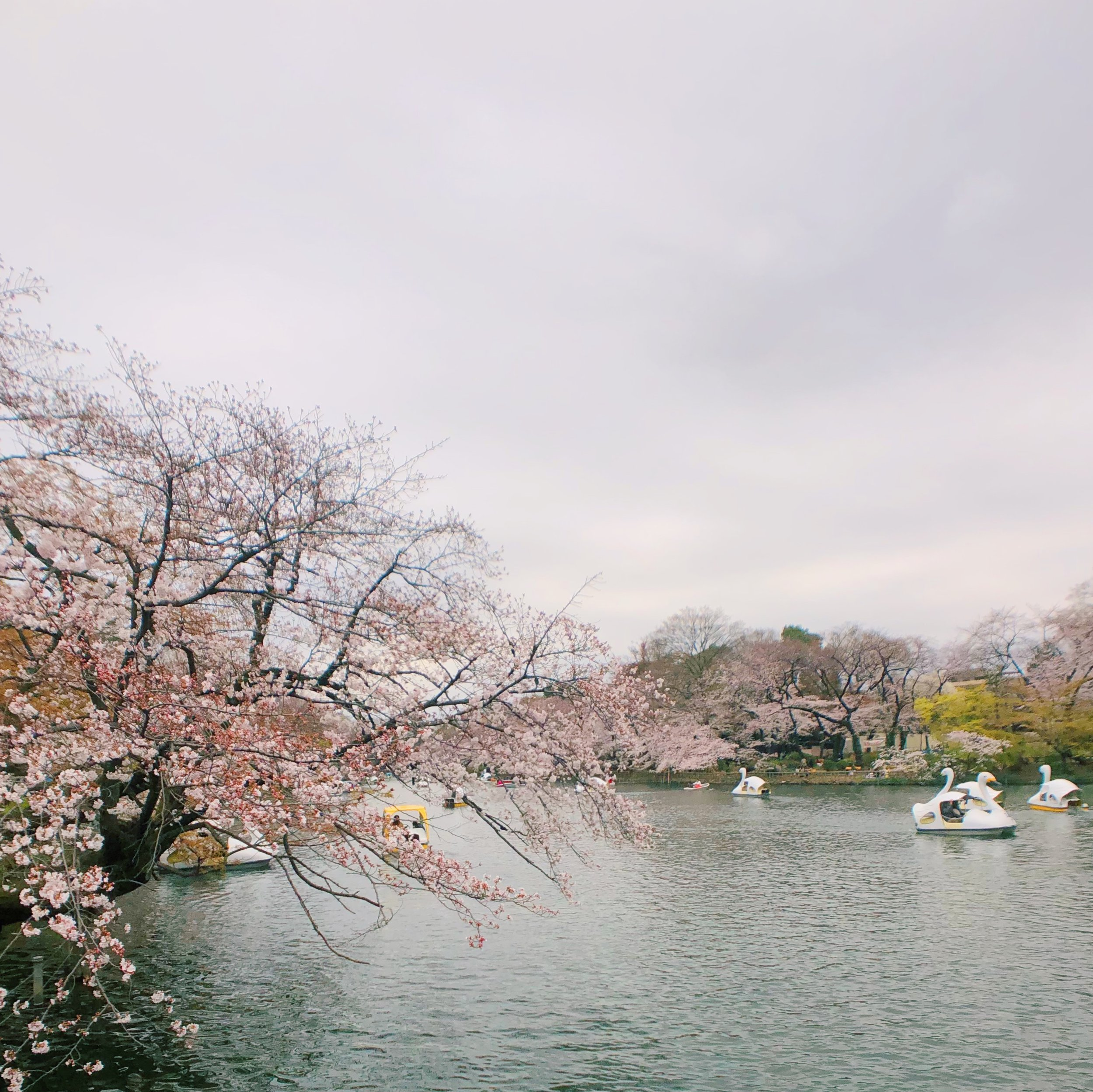 Swan paddle boats in Kichijoji.