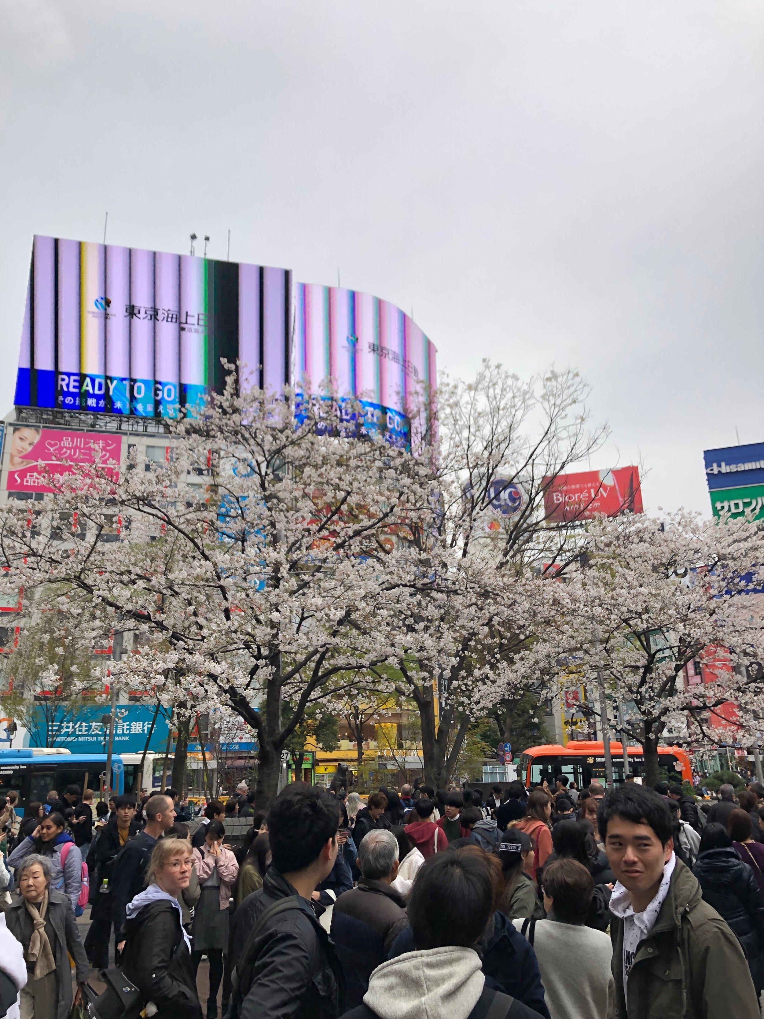 Sakura at Hachiko.