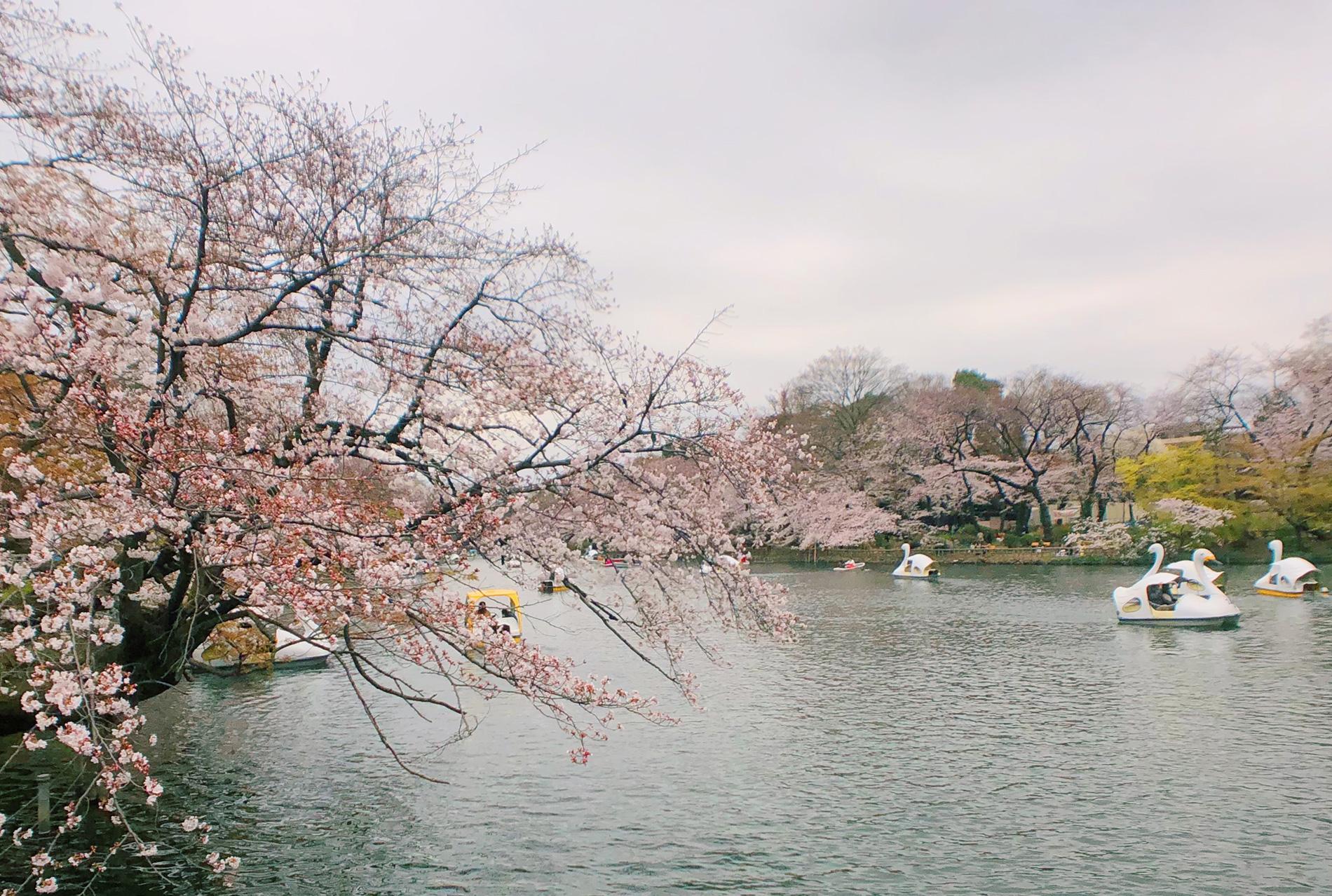 Sakura Season:  Sakura in bloom at InokashiraPark in Japan.