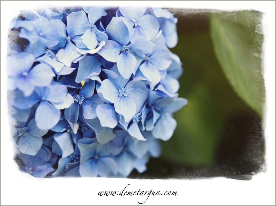 Bu blog yazıma en sevdiğim çiçeklerden biri olan ortanca fotoğrafı eklemek istedim. Özellikle bu rengine bayılıyorum. Bu çiçek içinde yetiştiği toprağa bağlı olarak farklı renk alabiliyor. Bu anlamda da yazıma uygun oldu bence :)