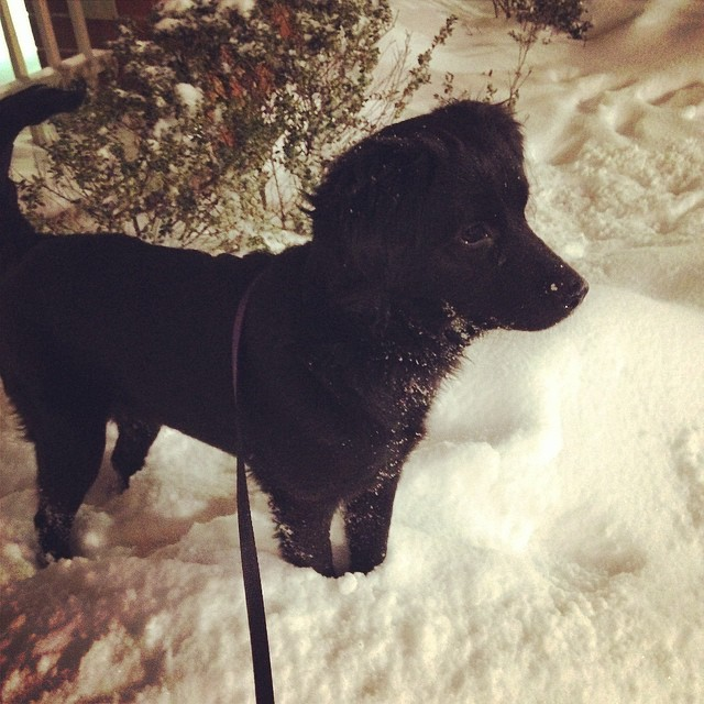 All about the snow. Which is good, because we don't have much choice. #Selks #dogsofinstagram