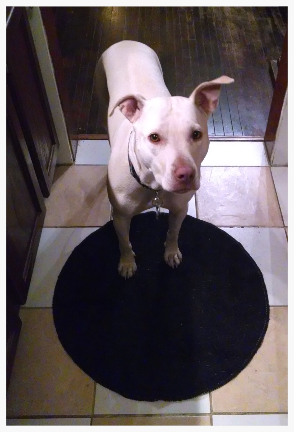 "Our pit bull. She's stubborn, but she's spoiled. (""Lala"", February 5, 2015.)"