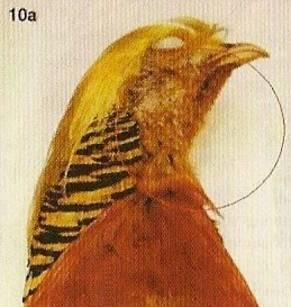 Zacht roodbruin, de bevedering vormt een mooie overgang tussende gele bek en de scharlakenrode borst
