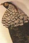Gele bek en een grote naakte gezichtshuid. De kraag is bovenaan samengesteld uit kleine afgeronde veertjes die gradueel overgaan in grote driehoekige veren. Op deze veren zijn de staalblauwe dwarsbanden goed zichtbaar.