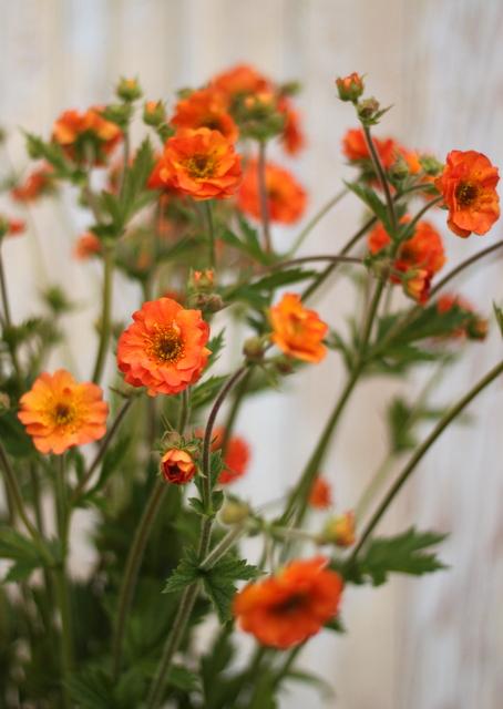 Geum, orange